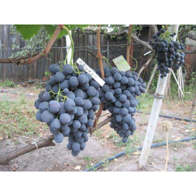 Виноград Сфинкс