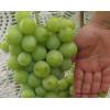 Особенности выращивания винограда в средней полосе России