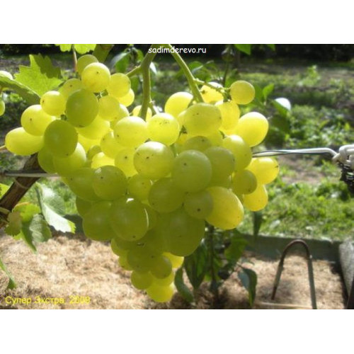 Саженцы Винограда Супер-Экстра - отзывы и описание