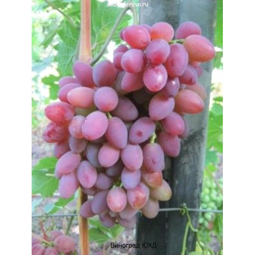 Саженцы Винограда сорта ЮХД