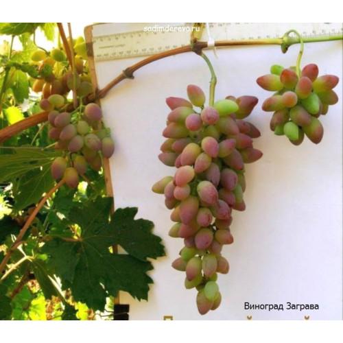 Саженцы Винограда сорта Заграва