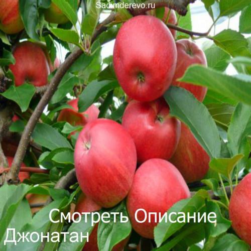 Саженцы Яблони сорта Джонатан