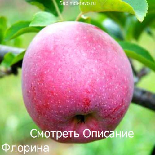 Саженцы Яблони сорта Флорина