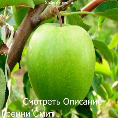 Саженцы Яблони сорта Гренни Смит