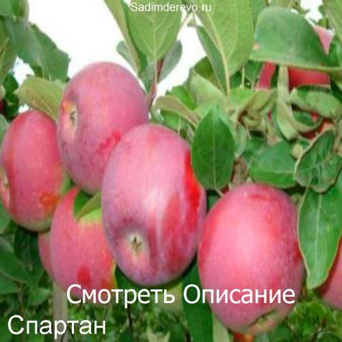 Саженцы Яблони сорта Спартан
