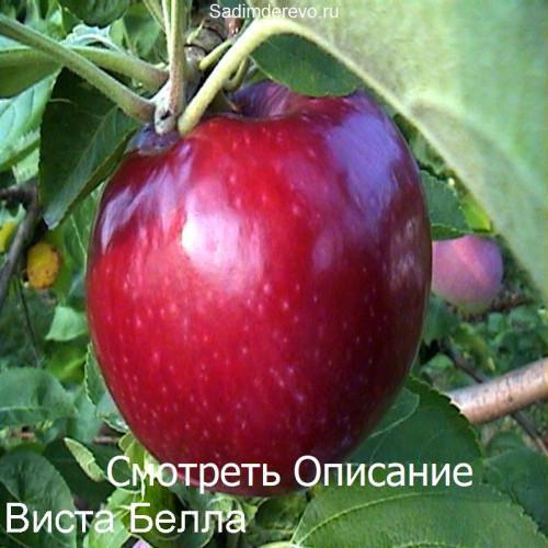 Саженцы Яблони сорта Виста Белла