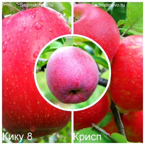 Яблоня - комплект саженцев из 3-х сортов: Яблоня Флорина > Яблоня Фуджи Кику 8 > Яблоня Хоней Крисп - цена и описание