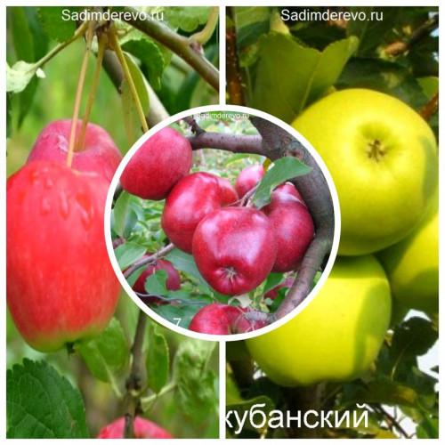 Яблоня - комплект саженцев из 3-х сортов: Яблоня Кариот 7 > Яблоня Райка > Яблоня Ренет кубанский - цена и описание
