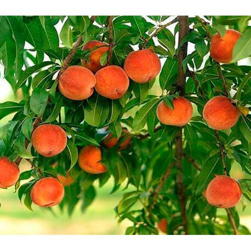 Саженцы Колоновидного Персика Тотем садовода - фото и описание