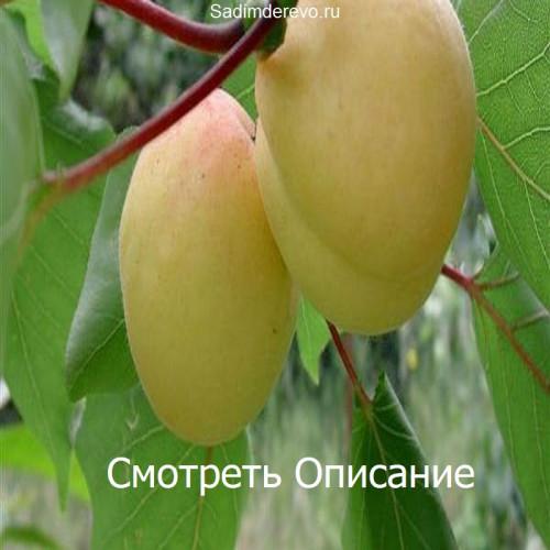 Саженцы Абрикоса Ананасный (Шалах) - отзывы и описание