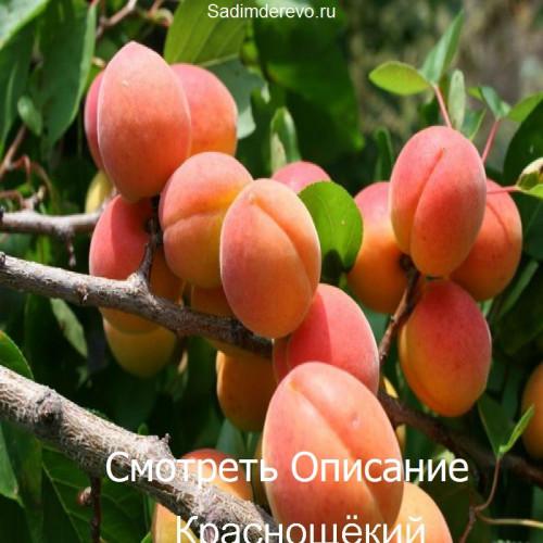 Саженцы Абрикоса Краснощёкий - фото и описание