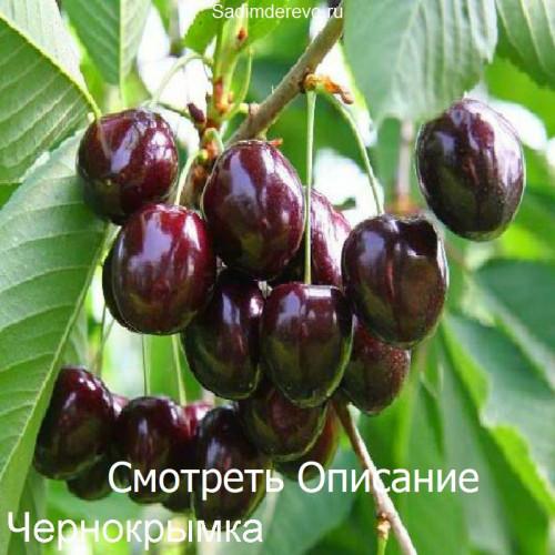Саженцы Черешни Чернокрымка - цена и описание