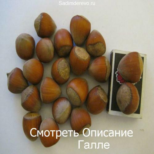 Саженцы Фундука Галле - фото и описание