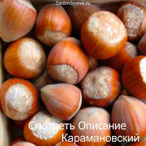 Саженцы Фундука Карамановский - цена и описание