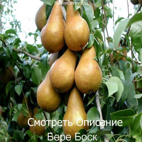 Саженцы Груши Бере Боск - фото и описание