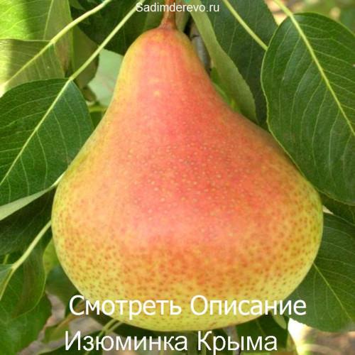 Саженцы Груши Изюминка Крыма - отзывы и описание