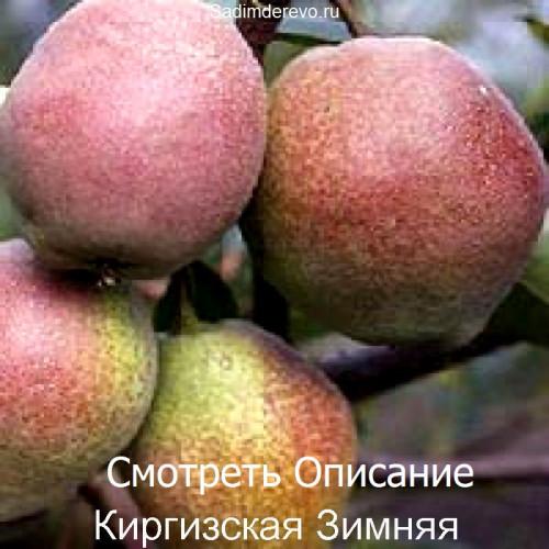 Саженцы Груши Киргизская Зимняя - фото и описание