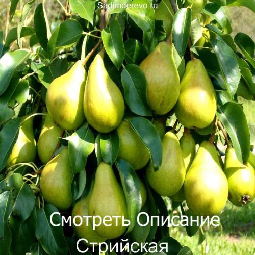 Саженцы Груши Стрийская - фото и описание