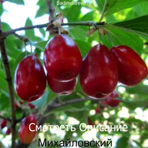 Саженцы Кизила Михайловский - цена и описание