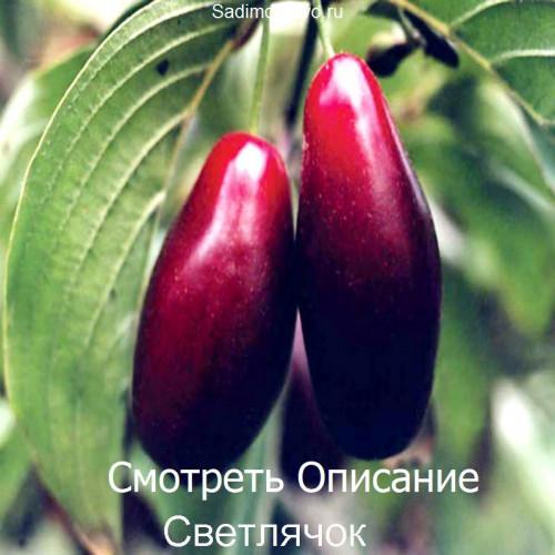 Саженцы Кизила Светлячок - фото и описание