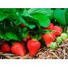 Как ускорить плодоношение земляники