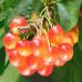 Саженцы Колоновидной Черешни Розовая - цена и описание
