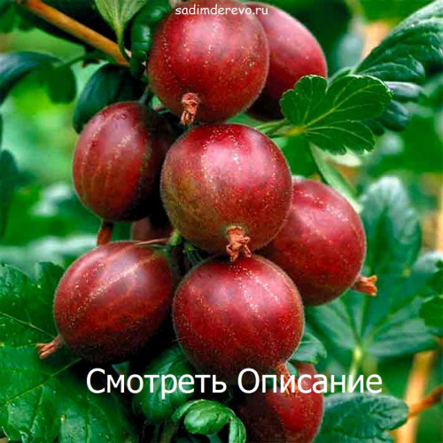 Саженцы Крыжовника Карат - фото и описание