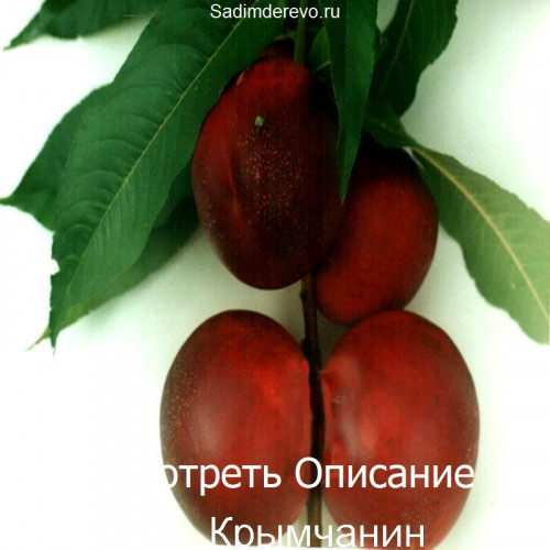 Саженцы Нектарина Крымчанин - фото и описание