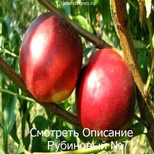 Саженцы Нектарина Рубиновый №7 - фото и описание
