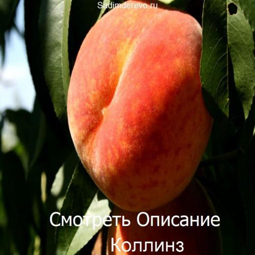 Саженцы Персика Коллинз - фото и описание