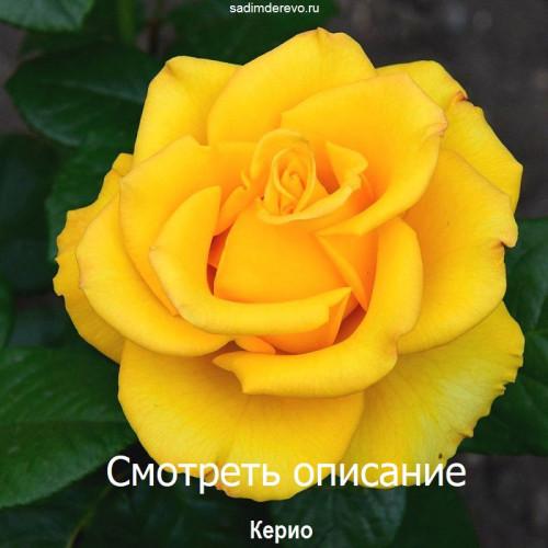 Саженцы Роз Керио - отзывы и описание