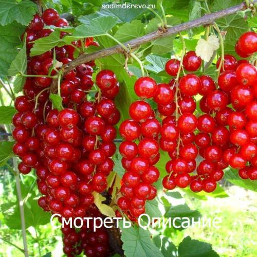 Саженцы Смородины Джунифер - фото и описание
