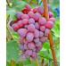 Саженцы Винограда Подарок Ирине - отзывы и описание