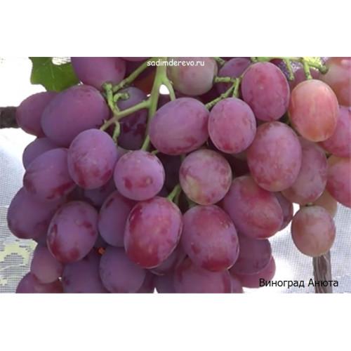 Саженцы Винограда Анюта - фото и описание