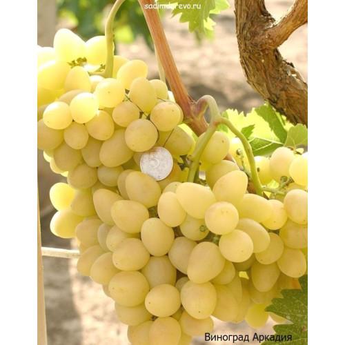 Саженцы Винограда Аркадия - цена и описание