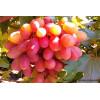 Обрезка винограда весной: сроки и правила проведения