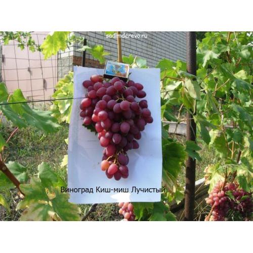 Саженцы Винограда Киш-миш Лучистый - отзывы и описание
