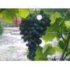 Выращивание винограда в условиях рискованного земледелия на Урале