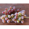 Выращивание винограда в теплице, особенности агротехники