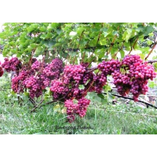 Саженцы Винограда Ливия - цена и описание