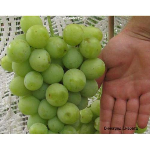 Саженцы Винограда Смарагд - фото и описание