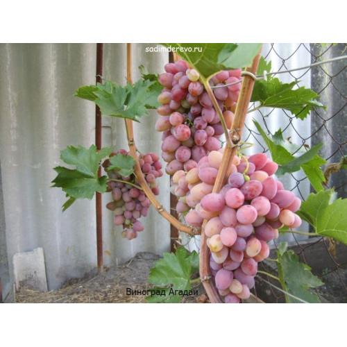Саженцы Винограда ЗОС-1 - цена и описание