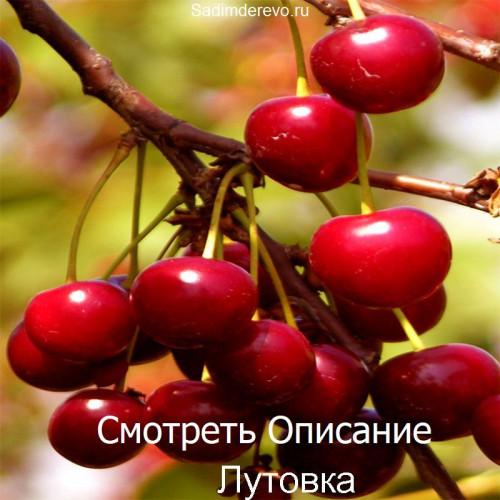 Саженцы Вишни Лутовка - отзывы и описание