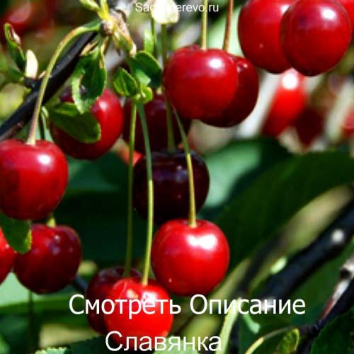 Саженцы Вишни Славянка - фото и описание