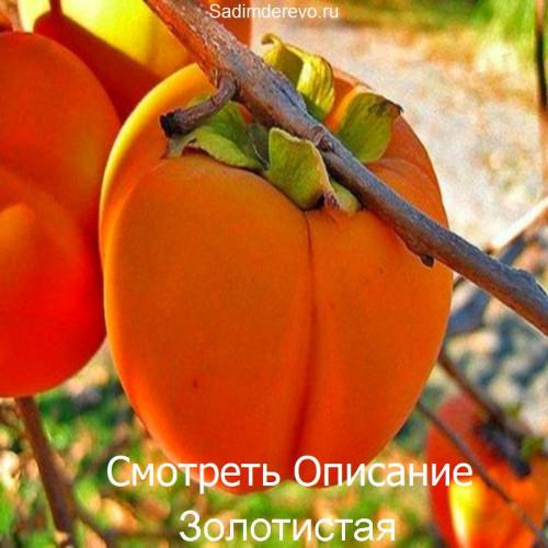 Саженцы Хурмы Золотистая - фото и описание