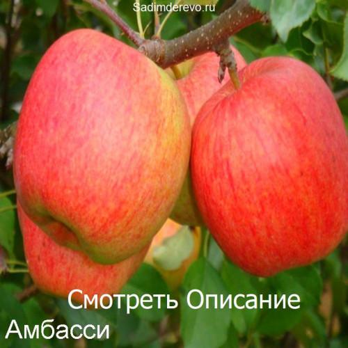Саженцы Яблони Амбасси - отзывы и описание