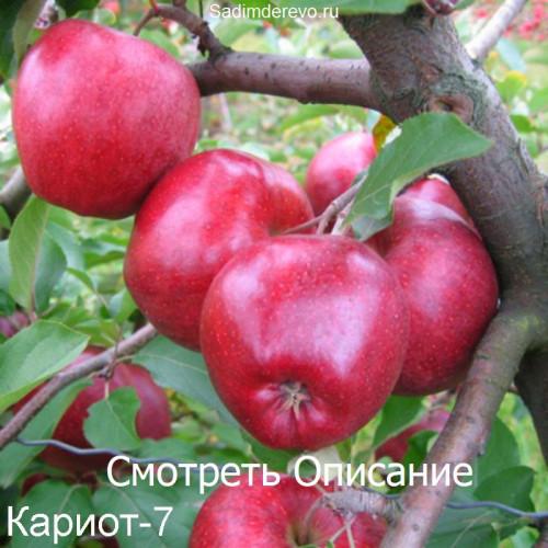 Саженцы Яблони Кариот-7 - фото и описание