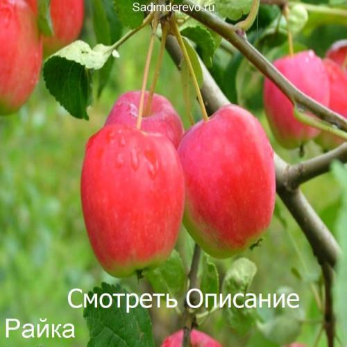 Саженцы Яблони Райка - цена и описание