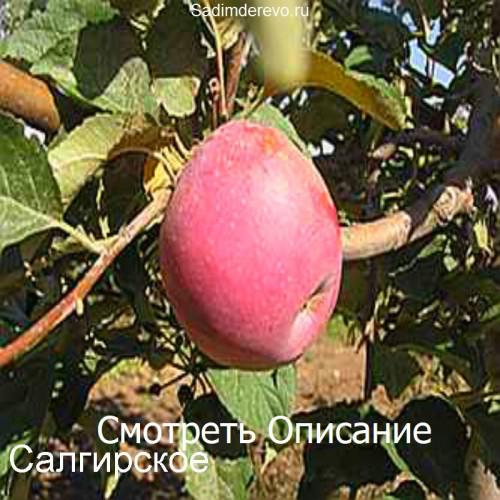 Саженцы Яблони Салгирское - фото и описание