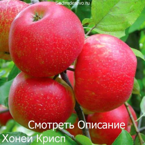 Саженцы Яблони Хоней Крисп - фото и описание